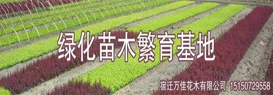 桂花树的播种与扦插育苗技术