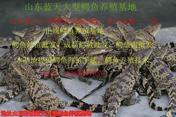 山东唯一一家具有野生动物驯养繁殖许可的鳄鱼养殖场